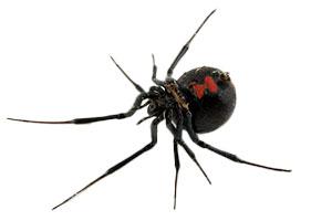 Northern Black Widow
