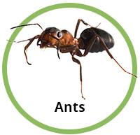 Ants circle